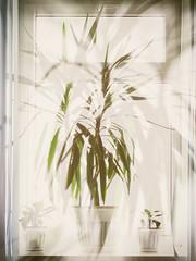 Absorption by light (andrey.senov) Tags: window flower light окно цветок свет fujifilm fuji x10 fujifilmx10 25faves
