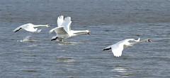 Woodhorn - Four Mute Swans In Flight (Gilli8888) Tags: northeast birds waterbirds water swans muteswans four birdsinflight lake woodhorn countrypark northumberland queenelizabethiicountrypark flight largebirds