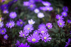 flowers in a bunch (kderricotte) Tags: helios44m458mmf2 helios bokeh depthoffield vintagelens purple flowers ground outdoor plant sonya7ii sony
