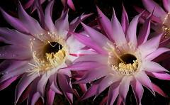 Sueño de una noche de verano (mnovela2293) Tags: echinopsis eyriesii cactuscactácea lila noche flornocturna