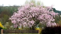 spring-walk (vuokkopeter) Tags: spring frühling kevät kukka flower blüte saksa germany deutschland platinumheartaward