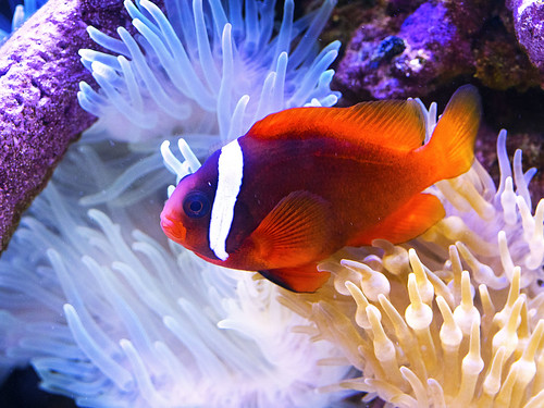 Memphis Zoo 08-31-2016 - Clown Fish and Anenome 8