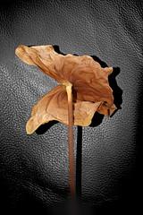 Anthurium Andraeanum (lieber_ulrich) Tags: flower blossom dried dry dead bw black white colorkey colourkey manipulation botanic nature