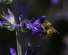 Bee&Flower_SAF2416 (sara97) Tags: bee copyrightâ©2016saraannefinke flyinginsect insect missouri outdoors photobysaraannefinke pollinator saintlouis towergrovepark flower copyright©2016saraannefinke