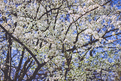 IMG_5199 (TuddMSK) Tags: nature portrait action landscape leaves spring cherry blossom tree outdoors canon eos 600d digital photography art colors