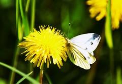 Spring smell (only_sepp) Tags: farfalle tarassaco fiore parcocolonnetti torino primavera colore allnaturesparadise