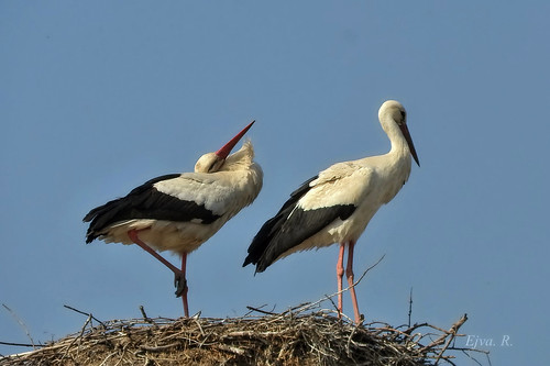 Stork couple A gólyapár