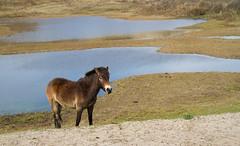 Noordhollands Duinreservaat (Thea Teijgeler) Tags: duinen dune sandhills landschap kandscape duinreservaat dunereserve horse pony paard