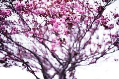Blossom (louie imaging) Tags: san francisco cherry blossom park bloom flower floral elegant jazz interp interpretation interpretive moment