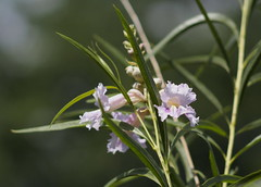 Desert Willow (Aerogami.com) Tags: california park pink flowers white plant blur orchid flower tree green dof desert native bokeh lavender 85mm olympus willow konica f18 18 85 omd canoga hexanon orchidlike chilopsis linearis em5 aerogami willowlike