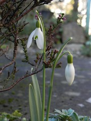 Sunny Snowdrops (milnefaefife) Tags: flowers winter plants sunlight garden scotland fife heather snowdrop newportontay