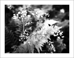 At Theissendammen VII (Christa (ch-cnb)) Tags: morning summer blackandwhite lake fern water norway norge walk olympus ferns trondheim oneyearold queenanneslace omd bymarka theisendammen em5 grainyfilm artfilter microfourthirds panasoniclumix20mm