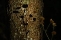 A sombra em uma árvore (6859) (Jorge Belim) Tags: flora flor pb canoneos50d