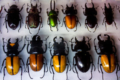 Stag Beetles (Kevin Borland) Tags: usa animals newjersey insects oceancounty arthropods animalia arthropoda coleoptera tomsriver insecta lucanidae insectropolis