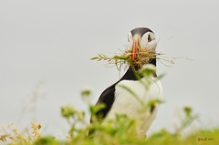 Ernte (Caora) Tags: newfoundland puffin lundi elliston bonavista arctica fratercula papageientaucher neufundland