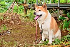 Bush Japan Dog (Hybrid) (Dakiny) Tags: summer dog field animal animals japan mammal bush nikon country july yokohama   hybrid tamron    vegetablegarden  a16    2013 akitadog     petanimal aobaku  japandog     d5100 2013  shimoyamotocho  yamotoseseragifureaipromenade