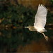 flying egrets