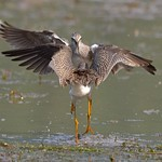 Call me a Lesser Yellowlegs, will ya?!! thumbnail