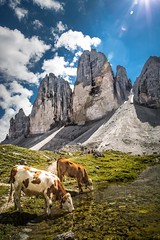 Drei Zinnen - Tre Cime di Lavaredo (memories-in-motion) Tags: italien italy nature zeiss canon landscape fotografie cows alpen kühe südtirol altoadige distagon 21mm dolomiten landscapephotography vertikal trecime dreizinnen trecimedilavaredo landschaftsfotografie 5dmarkiii 2999m distagon21mmze