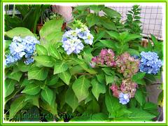 Blue Hydrangea macrophylla changes colour as they age (jayjayc) Tags: flowers blue plants malaysia kualalumpur shrubs hortensia tropicalgarden bigleafhydrangea mopheadhydrangea frenchhydrangea jjsgarden jayjayc hydrangeamacrophylla'endlesssummer'