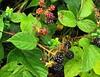 Frutos de  Otoño  (Moras) (Lumiago) Tags: naturaleza frutos moras frutosdelbosque befunky frutosdeotoño
