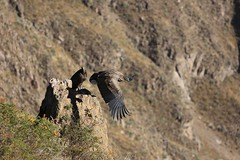 Juvenile Andean Condor Take-off into a Thermal  Majestic Colca Canyon Landscape  Peru South America (eriagn) Tags: world travel winter mountains male bird peru southamerica nature del landscape photography volcano wings wildlife feathers tourist naturalhistory cruz huge hart geology predator heavy juvenile arequipa wingspan extinct soar colcacanyon chivay scavenger ecosystem thermals talons plumage andeancondor cruzdelcondor vulturgryphus newworldvulture canyonwalls ampato nearthreatenedspecies colcariver eriagn ngairelawson ngairehart lawsonngaire vulturgryhus condornear wallsnew