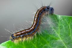 Mot toppen (KronaPhoto) Tags: macro tree green nature norway climb sommer natur blad eat makro tre larva spise maggot larve