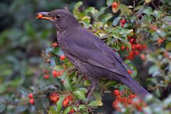 Bird and berries (bbic) Tags: red bird garden berry romanianblackbird