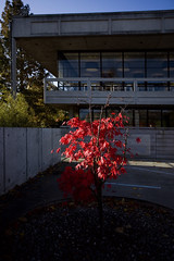 Glowing red! (Wendy:) Tags: autumn red tree leaves architecture acer 1740mm ucd belfield restauant