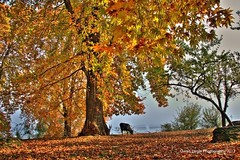 Autumn colors (ovais zargar) Tags: autumn india tree green colors cow colours kashmir srinagar owais chinar zargar