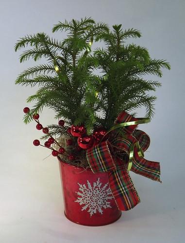 Norfolk Island Pine  - Blumz by JRDesigns in metro Detroit