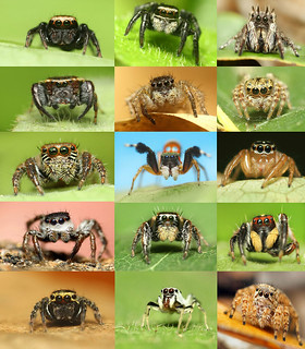 Jumping Spiders In India