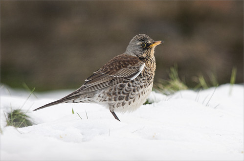 Fieldfare Jan 13