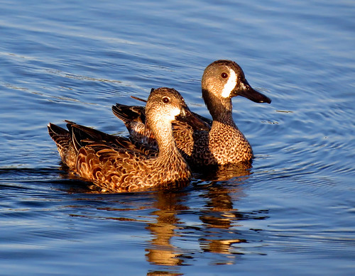 Mr. and Mrs. blue winged teals at Green Cay, FL