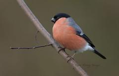 Bullfinch (Dave @ Catchlight Images) Tags: bird nature garden wildlife bullfinch birdwatch canon500mmisf4