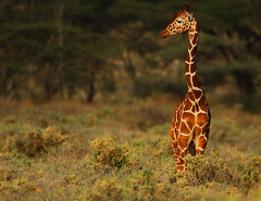 Reticulated Giraffe at sunset (Rainbirder) Tags: kenya ngc npc reticulatedgiraffe shaba giraffacamelopardalisreticulata somaligiraffe rainbirder