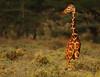 Reticulated Giraffe at sunset (Rainbirder) Tags: kenya ngc npc reticulatedgiraffe shaba giraffacamelopardalisreticulata somaligiraffe rainbirder