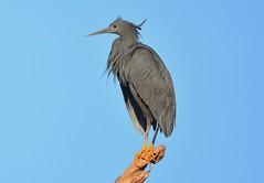 Black Heron (Egretta ardesiaca) (Ian N. White) Tags: gaborone botswana blackheron egrettaardesiaca birdperfect