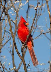 Northern Cardinal (Cardinalis cardinalis) (a_ripley) Tags: cardinaliscardinalis northerncardinal