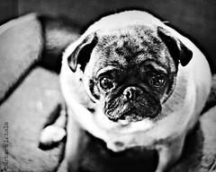 Olive  (243/365) (blamstur) Tags: blackandwhite dog pet pug 365 project365 22214