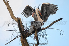 DSC05509 (pbauerphotographics) Tags: grey herons courtship dance blue skies mating conception male female trees branches birds wings feathers nest wwwpbauerphotographicscom