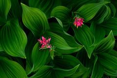 Veratrum (Michael Bollino) Tags: flowers summer plants mountains green montana glacier wildflowers paintbrush veratrum cornlilly
