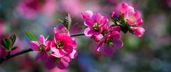 Fraicheur printanière (Alexandre LAVIGNE) Tags: nature rose fleurs photography photo spring pentax lumière printemps froid couleur ambiance louisengival smcpentaxdfamacro128100mmwr pentaxk5iis format2351 format235