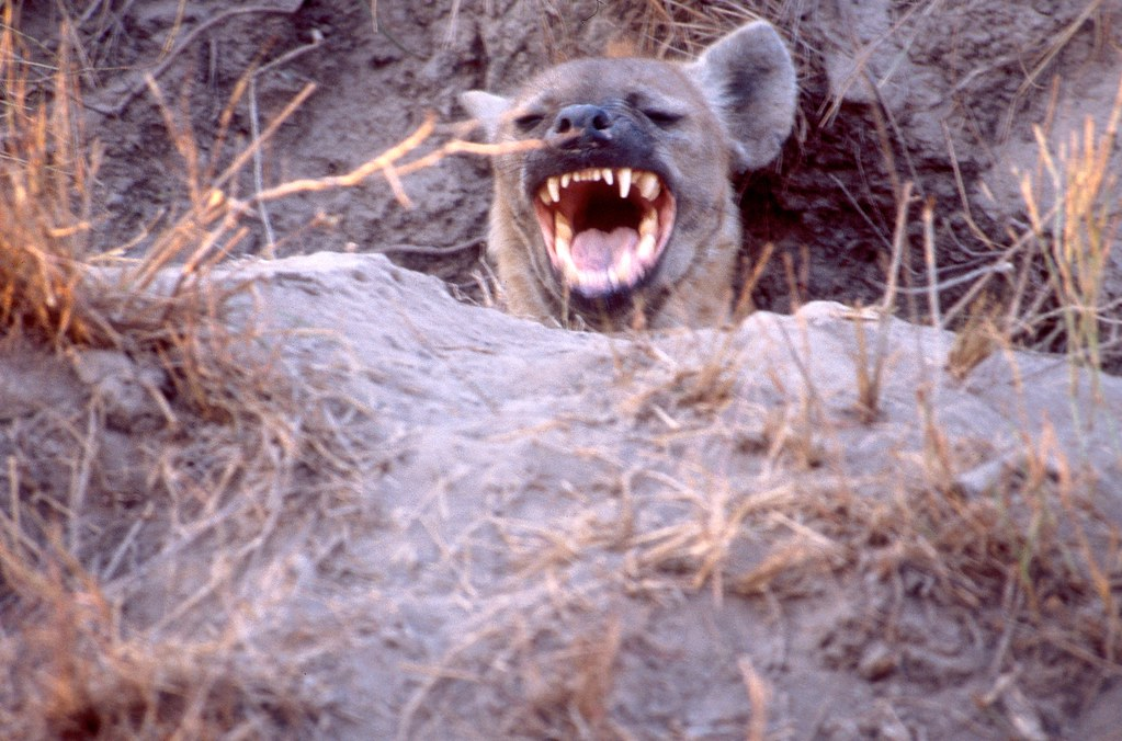 Hyena by U.S. Geological Survey, on Flickr