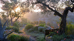 sunrise at the finca (Marlis1) Tags: roses sunrise olivetrees olivenbäume marlis1 canong15
