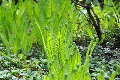 helechos (.) Tags: world fern berlin helecho primavera gardens del germany spring nikon der jardines mundo frhling welt marzahn grten gaerten d5000
