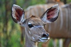 Young Kudu (Rob McC) Tags: