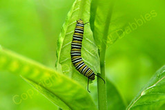 Monarch Caterpillar (Doodles N' Dabbles) Tags: green nature leaves animal animals butterfly bug insect leaf stripes wildlife insects bugs caterpillar monarch larva
