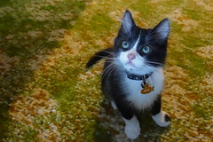 Howard (gabi-h) Tags: kitten cat howard howie pet black white boots whiskers gabih nephewscat portrait lookingup babyanimal