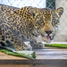 Jaguar Gamboa Wildlife Rescue pandemonio 2017 - 14